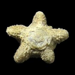Isoallagecrinus