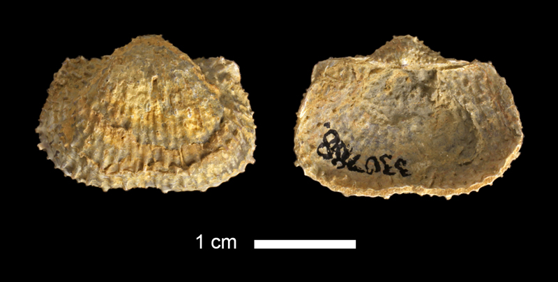 <i>Juresania sp.</i> from the Lecompton Limestone of Douglas County, Kansas (KUMIP 330788).
