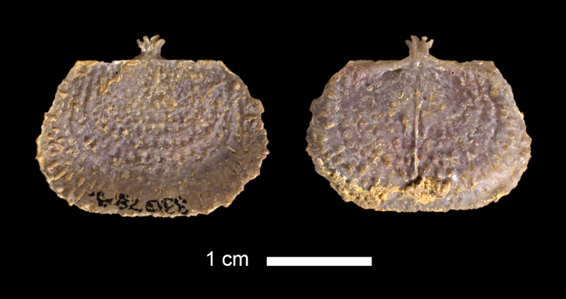 <i>Juresania sp.</i> from the Lecompton Limestone of Douglas County, Kansas (KUMIP 330789).