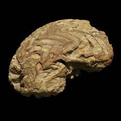 Neodimorphoceras texanum