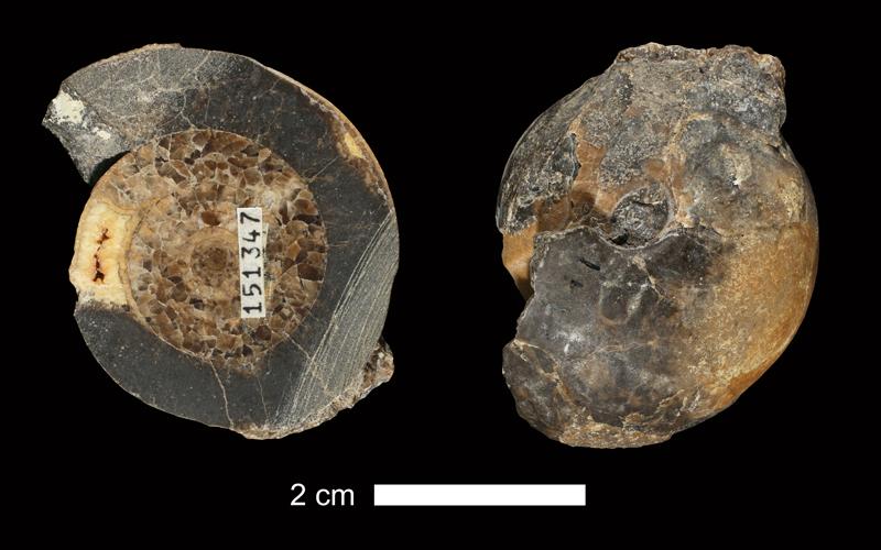 <i>Eoasianites sp.</i> from the Wapanucka Limestone of Pontotoc County, Oklahoma (KUMIP 151347).