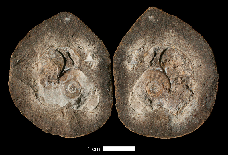 <i>Prouddenites primus</i> from the Iola Limestone of Jackson or Clay County, Missouri (KUMIP 151490).