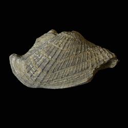 Conocardidae