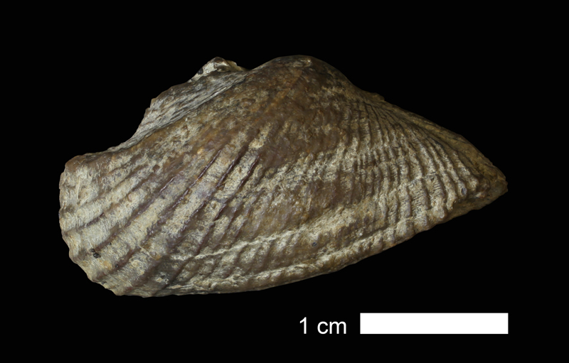 <i>Conocardium parrishi</i> from the Haragan Shale of Eastland County, Texas (KUMIP 152319).