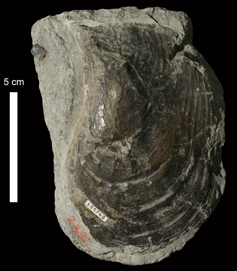 <i>Myalina (Orthomyalina) ampla</i> from an unknown formation of Leavenworth County, Kansas (KUMIP 155740).