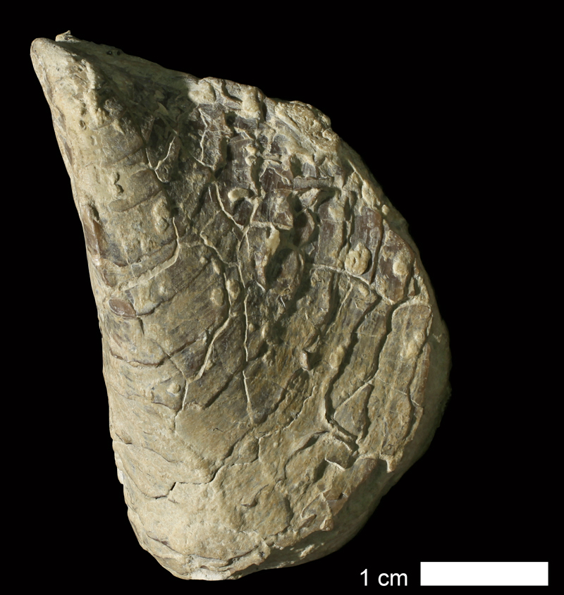 <i>Septimyalina burmai</i> from an unknown formation of Cowley County, Kansas (KUMIP 210851).