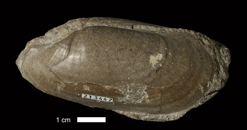 <i>Solemya sp.</i> from the Coal Measures of Jackson County, Missouri (KUMIP 213447).