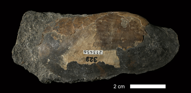 <i>Solemya radiata</i> from the Cherokee Shale of Henry County, Missouri (KUMIP 213456).