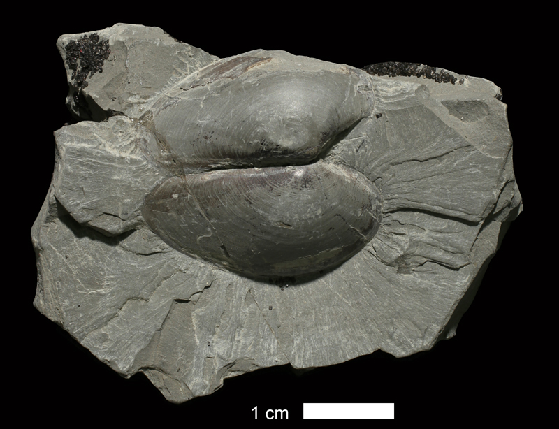 <i>Palaeoneilo sp.</i> from an unrecorded formation in Leavenworth County, Kansas (KUMIP 213500).