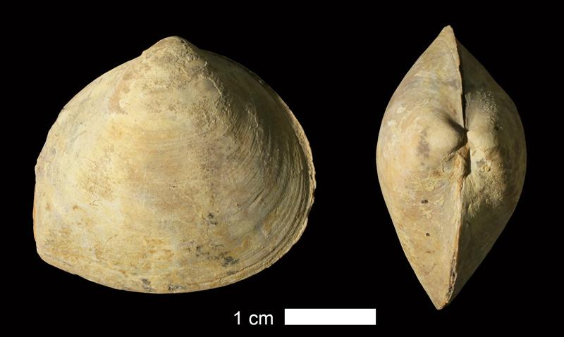 <i>Schizodus sp.</i> from the Wetumka Shale of Johnston County, Oklahoma (KUMIP 215538).
