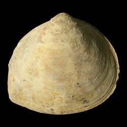 Myophoriidae