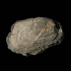 Permophorus subcostatus