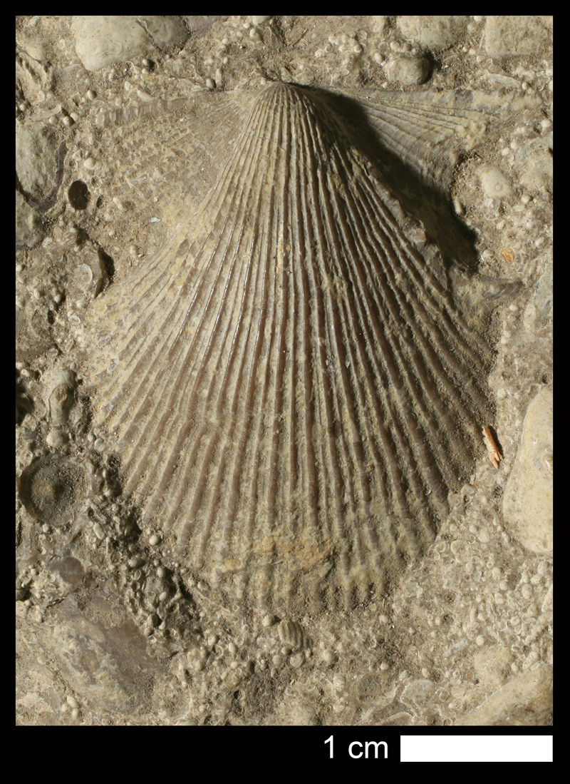 <i>Aviculopecten occidentalis</i> from the Cherryvale Shale of Wyandotte County, Kansas (KUMIP 215890).
