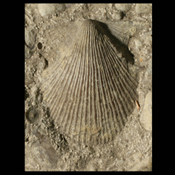 Aviculopecten occidentalis