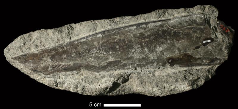 <i>Pinna subspatulata</i> from the Coal Measures of Leavenworth County, Kansas (KUMIP 216485).