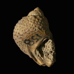 Trachydomia whitei