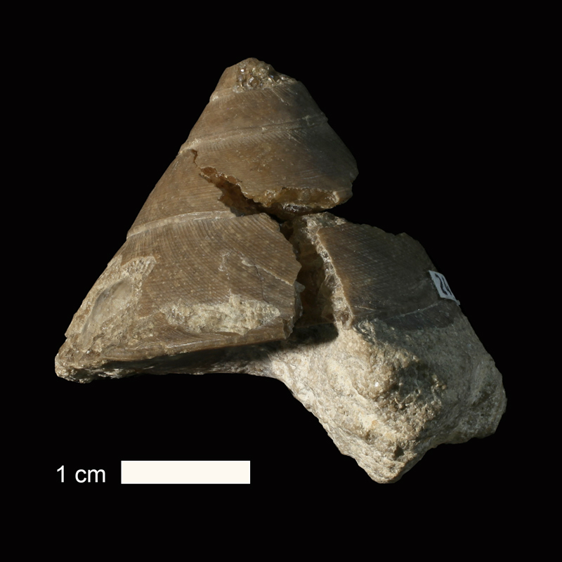 <i>Euconospira missouriensis</i> from the Drum Limestone of Wyandotte County, Kansas (KUMIP 244366).