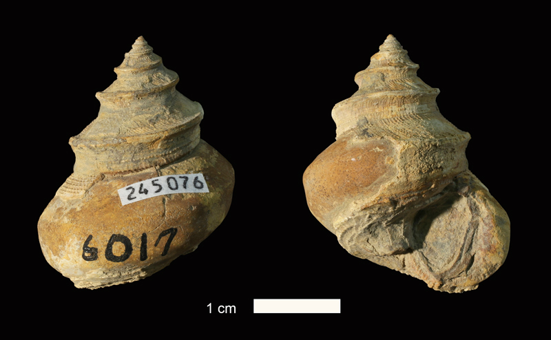 <i>Ananias welleri</i> from the Stanton Limestone of Montgomery County, Kansas (KUMIP 245076).