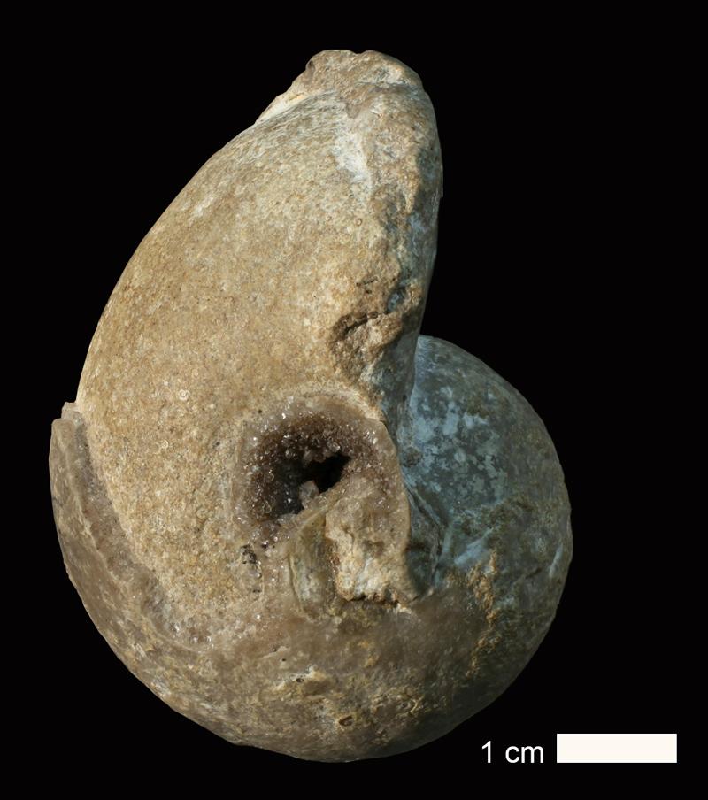 <i>Bellerophon crassus</i> from the Coal Measures of Jackson County, Missouri (KUMIP 251169).