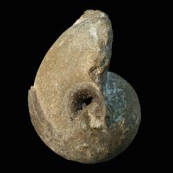 Bellerophon crassus