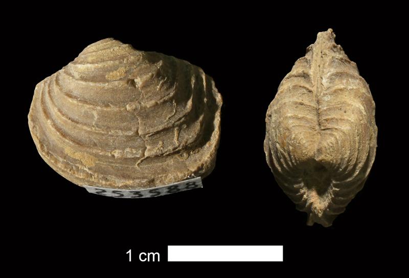 <i>Astartella varica</i> from the Salesville Shale of Palo Pinto County, Texas (KUMIP 253588).