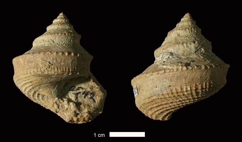 <i>Ananias sp.</i> from the Stanton Limestone of Washington County, Oklahoma (KUMIP 261582).