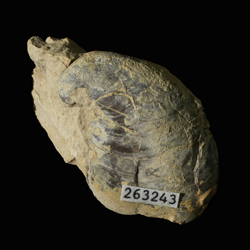 Platyceratidae