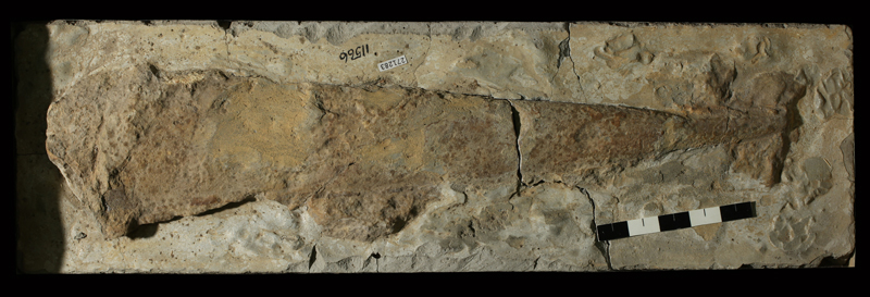<i>Pinna sp.</i> from an unknown formation of Jefferson County, Kansas (KUMIP 271283).