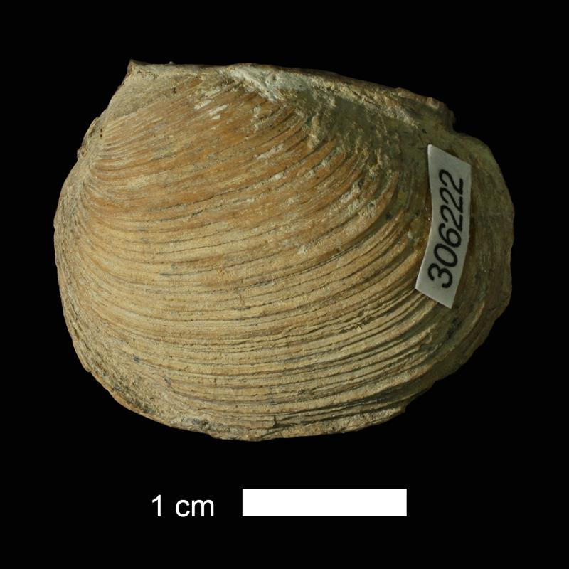 <i>Edmondia aspinwallensis</i> from the Wann Fm. of Washington County, Oklahoma (KUMIP 306222).
