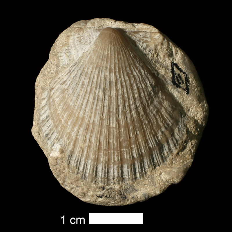 <i>Fasciculiconcha providecensis</i> from the Cherryvale Shale of Wyandotte County, Kansas (KUMIP 37695).