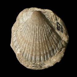 Fasciculiconcha providecensis