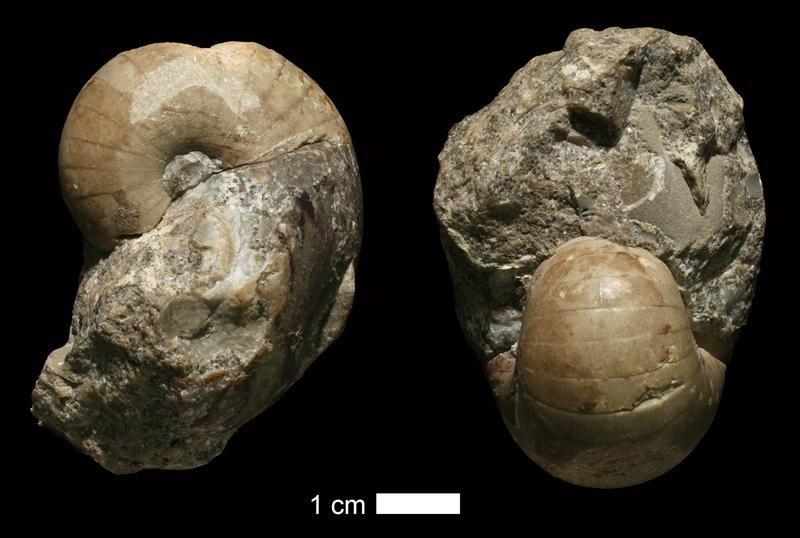 <i>Liroceras milleri</i> from the Drum Limestone of Montgomery County, Kansas (KUMIP 38564).