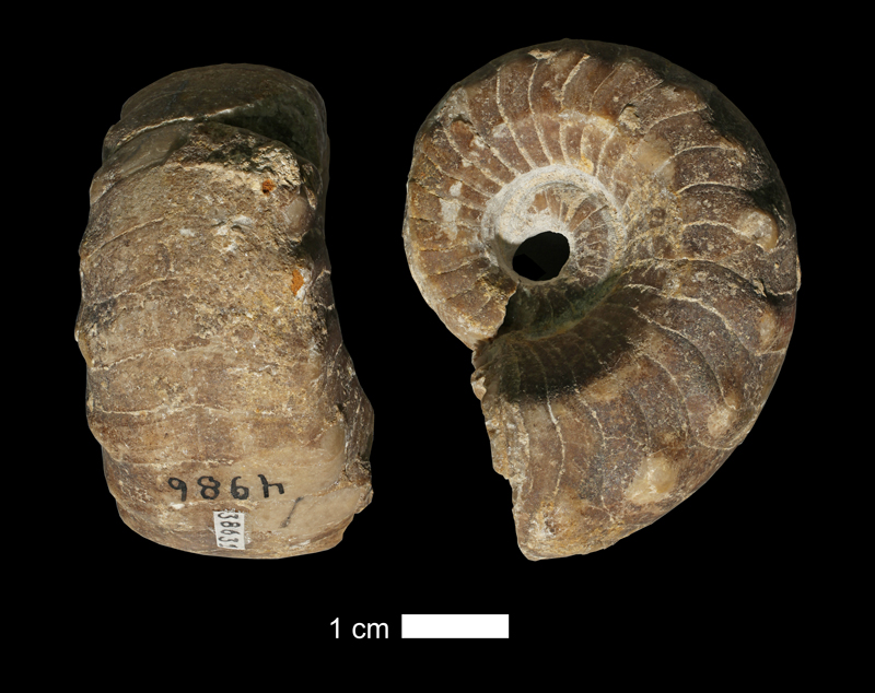 <i>Metacoceras sp.</i> from the Drum Limestone of Montgomery County, Kansas (KUMIP 38631).