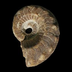 Metacoceras