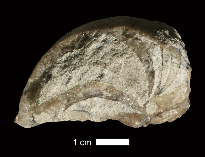 <i>Liroceras sp.</i> from the Coal Measures of Wyandotte County, Kansas (KUMIP 38638).