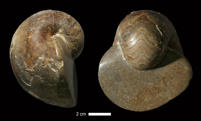 <i>Ephippioceras ferratum</i> from the Dennis Limestone of Jackson County, Missouri (KUMIP 38797).