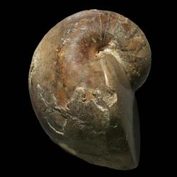 Ephippoceratidae