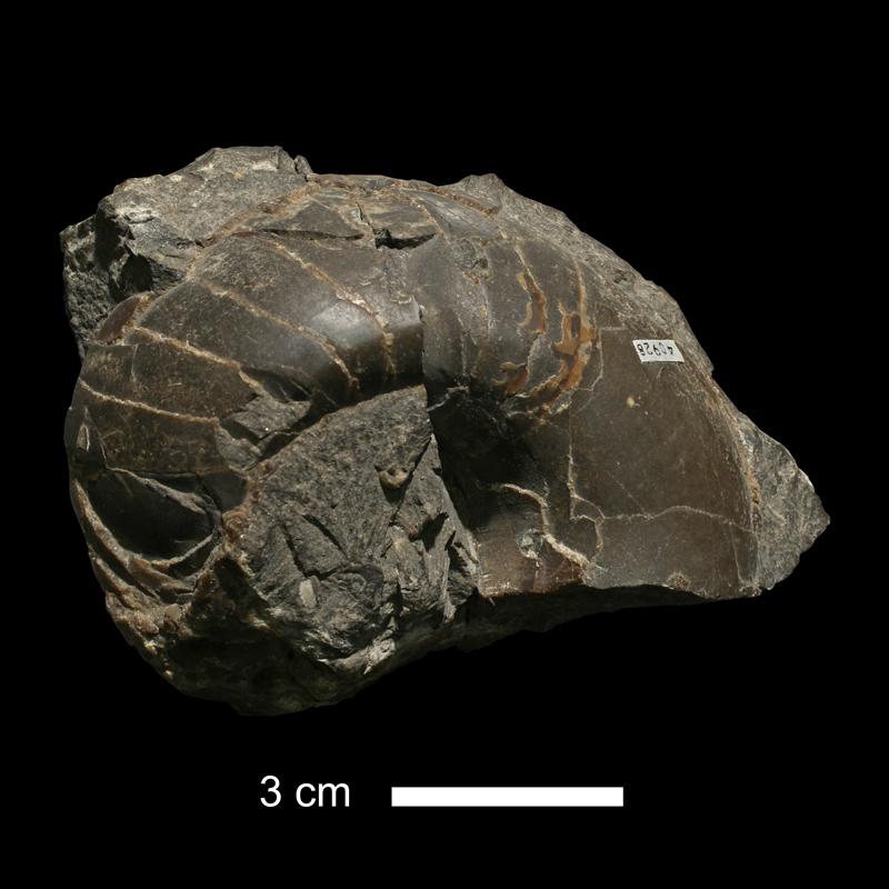<i>Knightoceras abundum</i> from the Dennis Limestone of Wyandotte County, Kansas (KUMIP 40928).