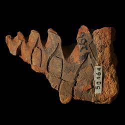Medlicottiidae