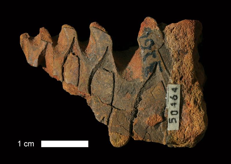 <i>Prouddenites sp.</i> from the Atoka Fm. of Coal County, Oklahoma (KUMIP 50464).