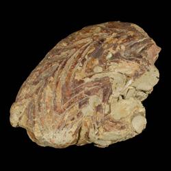 Gonioloboceratidae