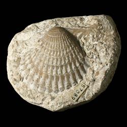 Aviculopectinidae