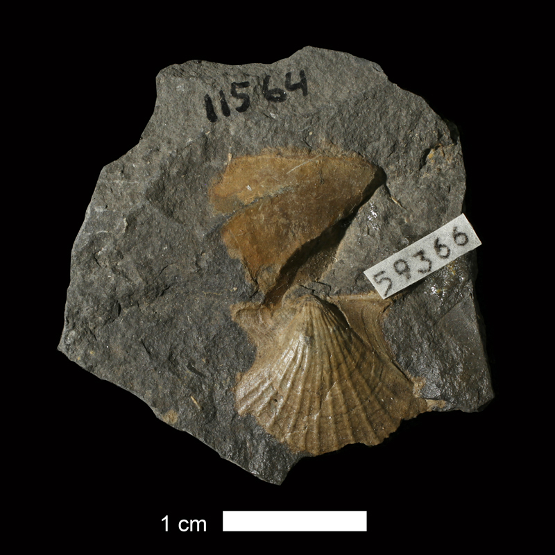 <i>Aviculopecten phosphaticus</i> from the Pottsville Fm. of Licking County, Ohio (KUMIP 59366).