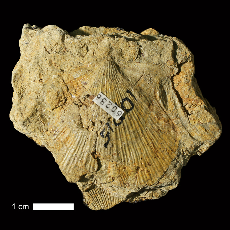 <i>Aviculopecten coxanus</i> from the Calhoun Shale of Osage County, Kansas (KUMIP 60286).