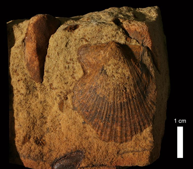 <i>Aviculopecten sp.</i> from the Kanwaka Shale of Greenwood County, Kansas (KUMIP 60479).