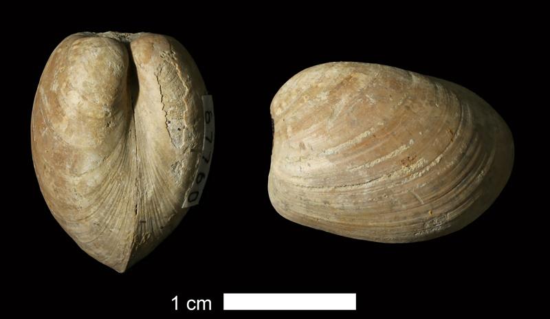 <i>Nuculopsis sp.</i> from the Stanton Limestone of Washington County, Oklahoma (KUMIP 87802).