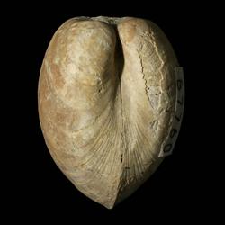 Nuculopsis