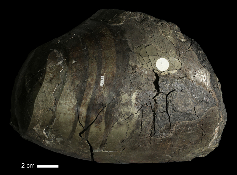 <i>Brachycycloceras bransoni</i> from an unknown formation of Crawford County, Kansas (KUMIP 38830).