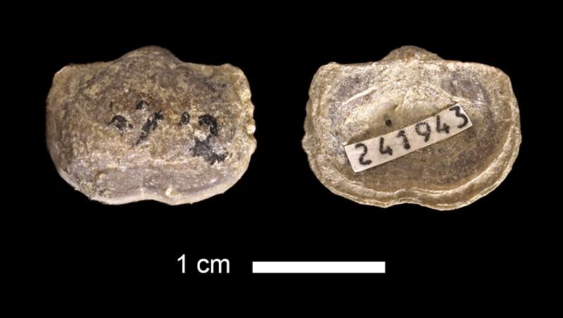 <i>Kozlowskia sp.</i> from the Lenapah Limestone of Nowata County, Oklahoma (KUMIP 241943).