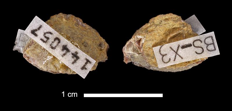 <i>Leptalosia spondyliformis</i> from the Lecompton Limestone of Douglas County, Kansas (KUMIP 144057).